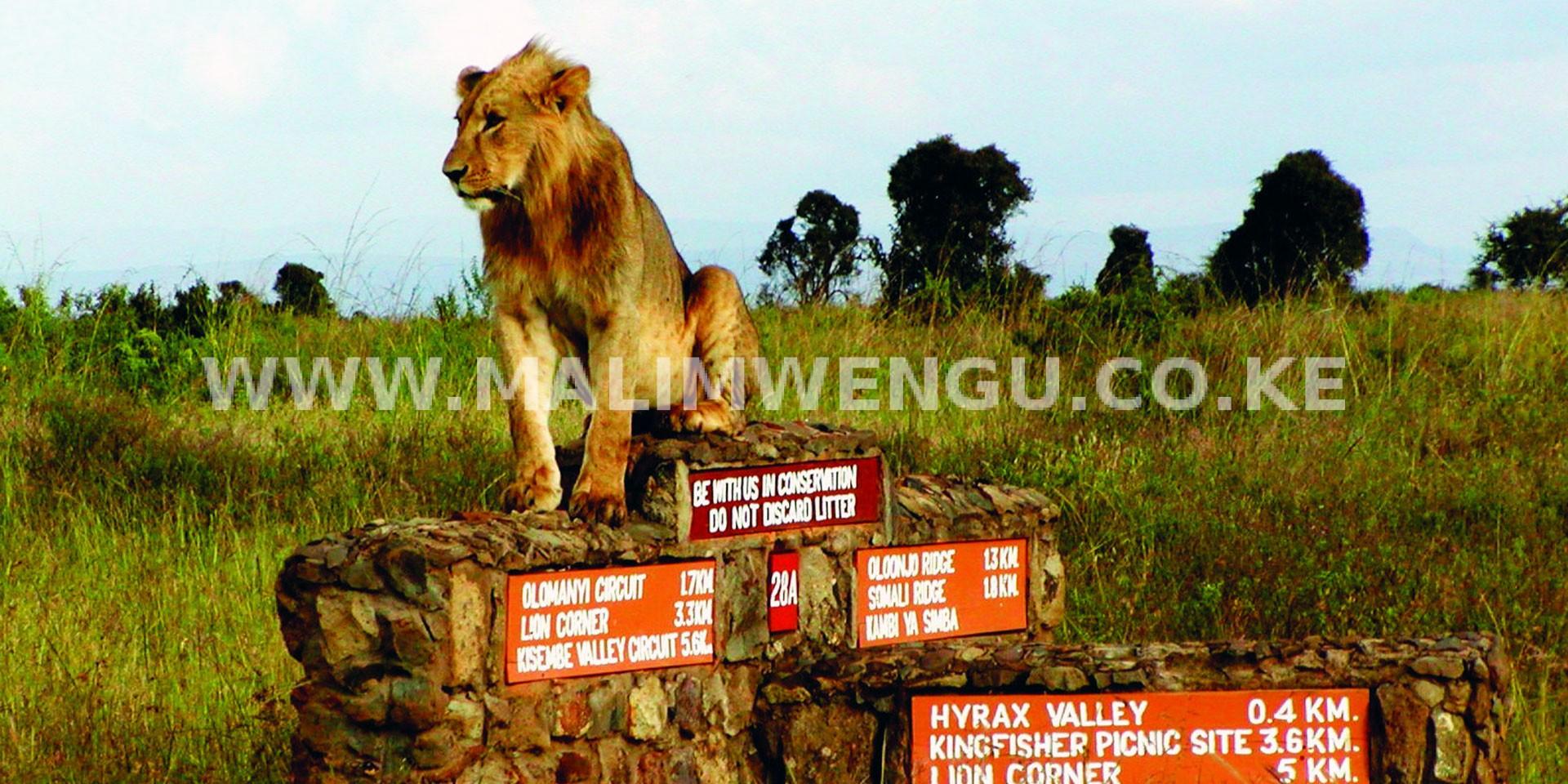 Sam oldest lion